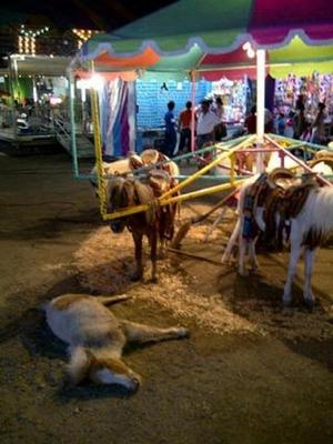 Atracción de feria: ponis