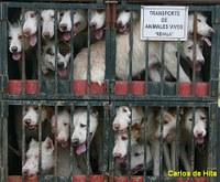 La Junta de Andalucía denunciada ante la Comisión Europea por incumplir la Directiva de Transporte de Animales