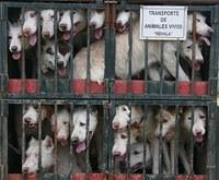 Lo conseguimos: la Junta obligada por la UE a incluir en las disposiciones de transporte de animales a las Rehalas