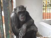 NOTA DE PRENSA PROYECTO GRAN SIMIO: COMITÉ ÉTICO DE DEFENSA ANIMAL